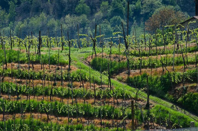 Prosecco di Valdobiadene zone - Veneto Italy photo