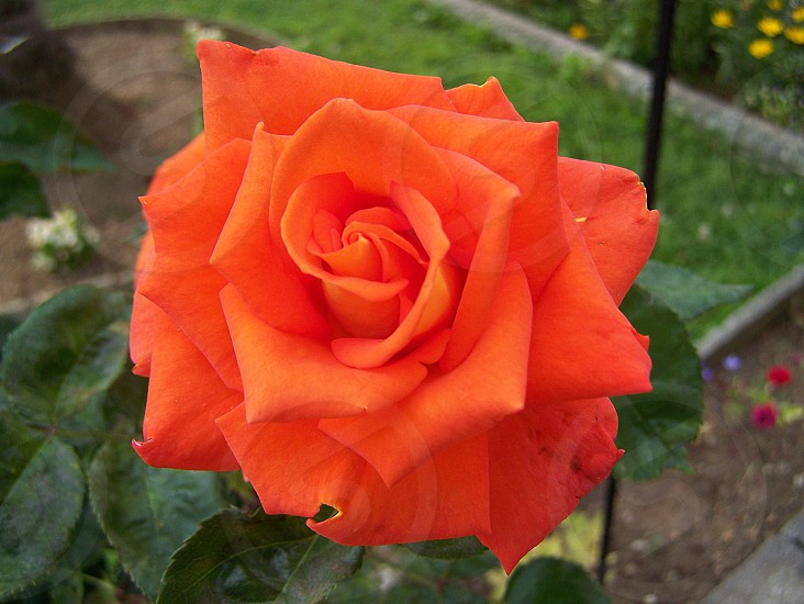 coral rose photo