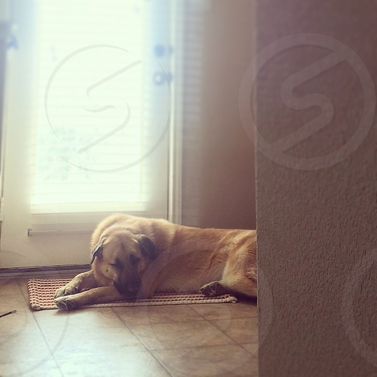 short-coated brown dog on red and white floor rug near white wooden door photo