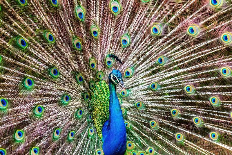 A peacock displays its beautiful feathers in Kauai Hawaii. photo