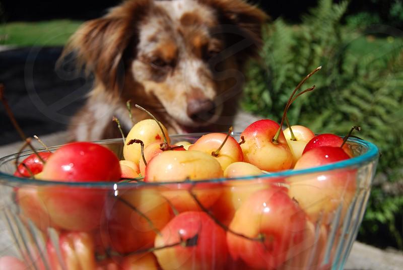 red cherries on bowl photo