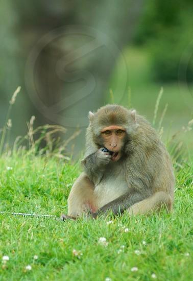 Rhesus monkey photo
