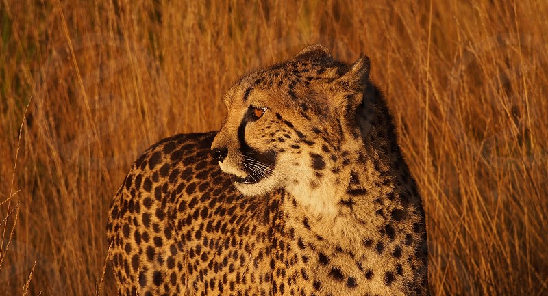 Cheetah at the golden hour photo