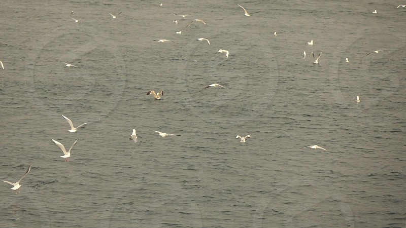 A lot of flying and floating seagulls birdsabove the waves. Slow motion Full HD video 240fps 1080p. photo