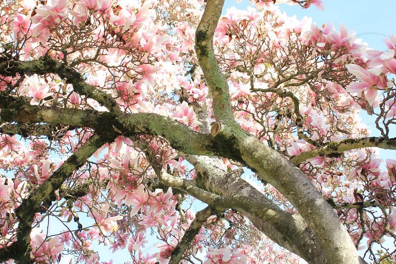 pink cherry blossom tree under sunny sky photo