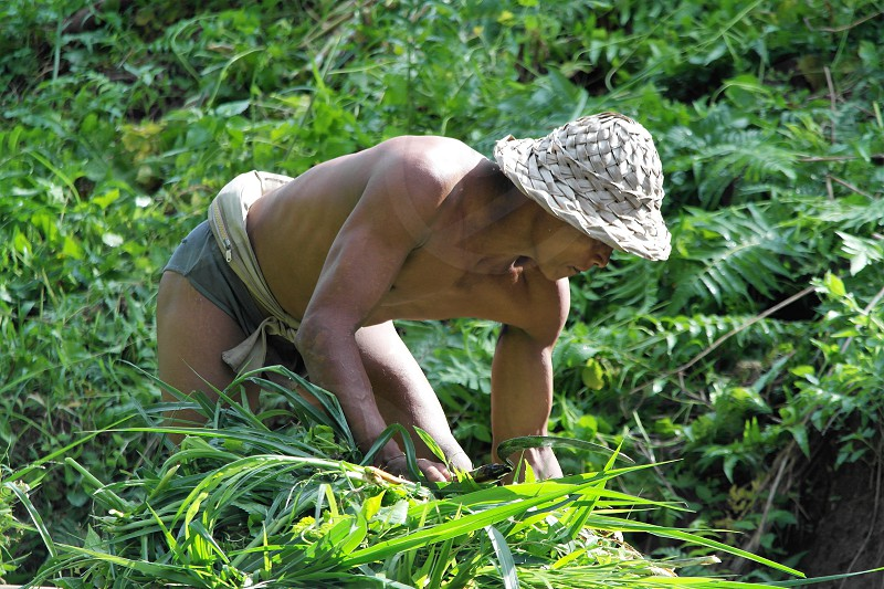 balinese farmer working in the rice terrace paddy field photo