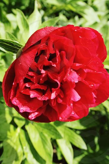 Pretty red flower photo