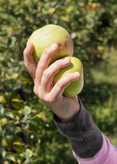 hand holding apples photo