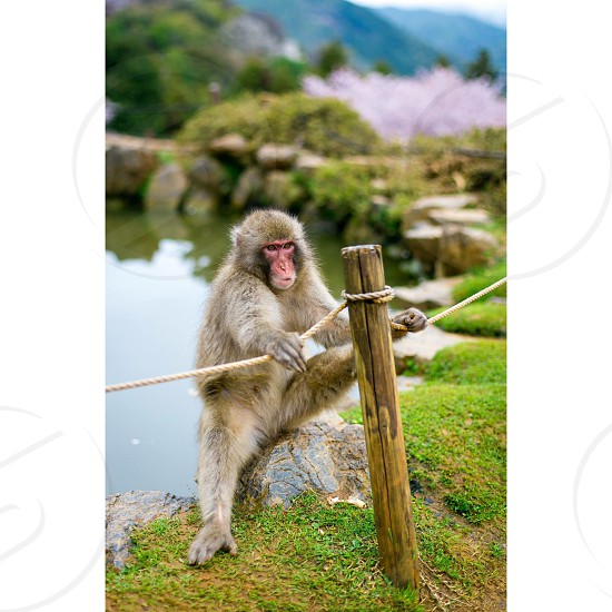 Macaque Japan Kyoto Snow monkey photo