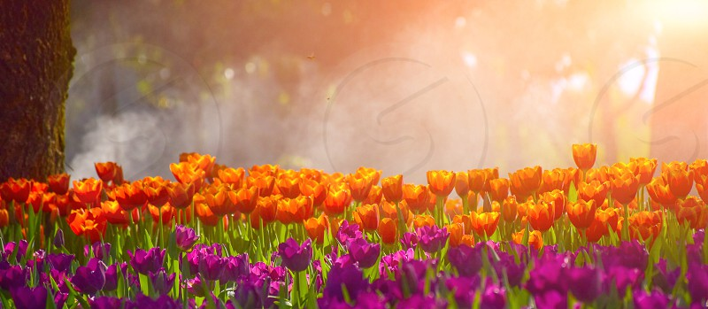 Multicolored tulips in the gardens of Chiang Rai Thailand. photo