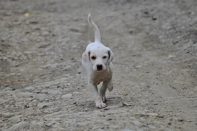 white puppy running photo