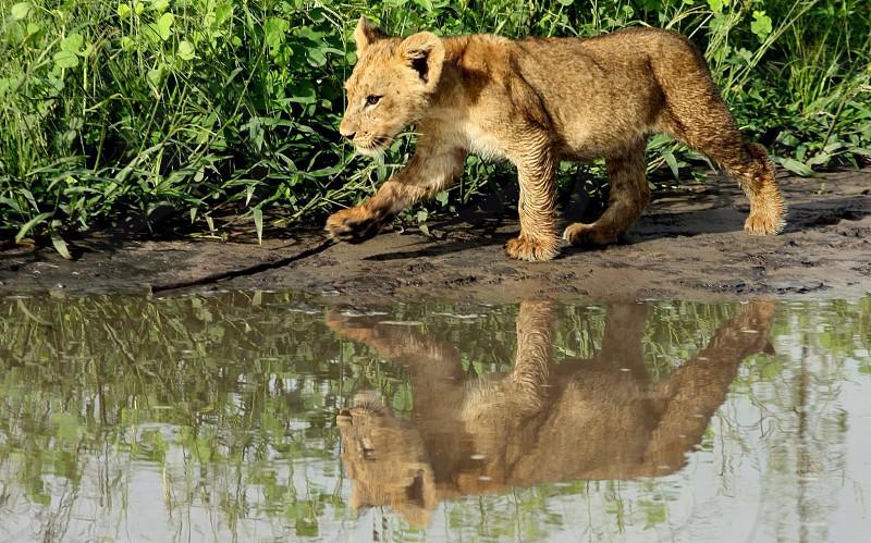 Lion cub Chobe National park Botswana photo