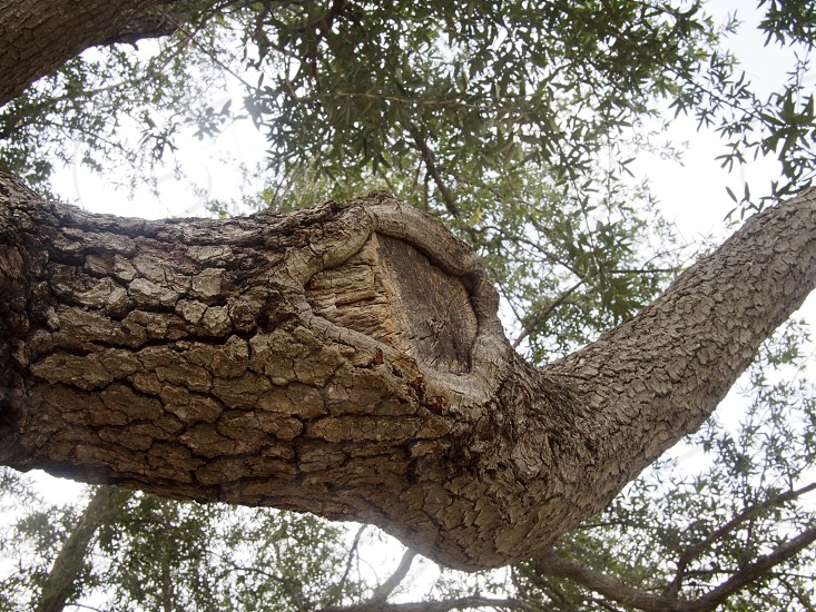 tree branch knot photo