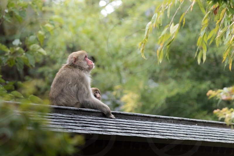 Wild Japanese macaque in Yamadera area Japan. photo