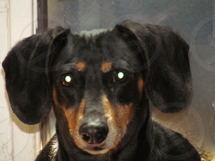 black and tan smooth dachshund photo