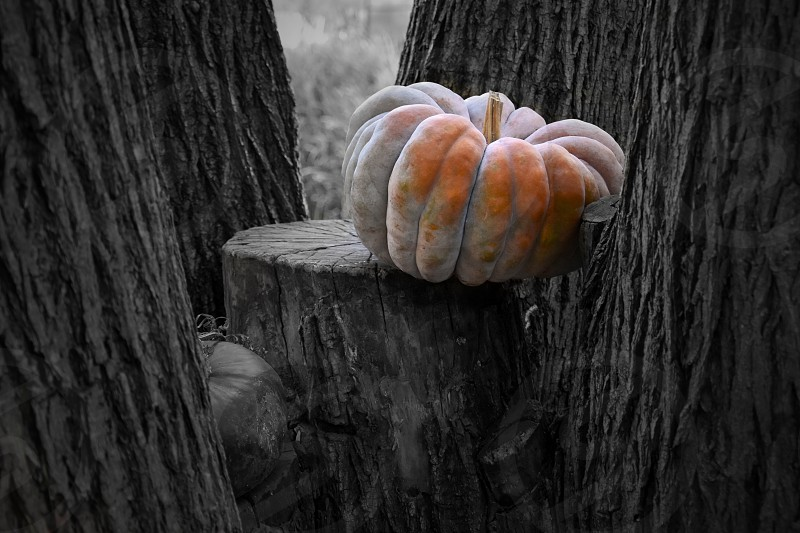 Pumpkin in the garden. Beautiful autumn decoration with pumpkins. Halloween pumpkin decoration in the garden. Orange gourd on a black and white background. Pumpkin on a tree photo