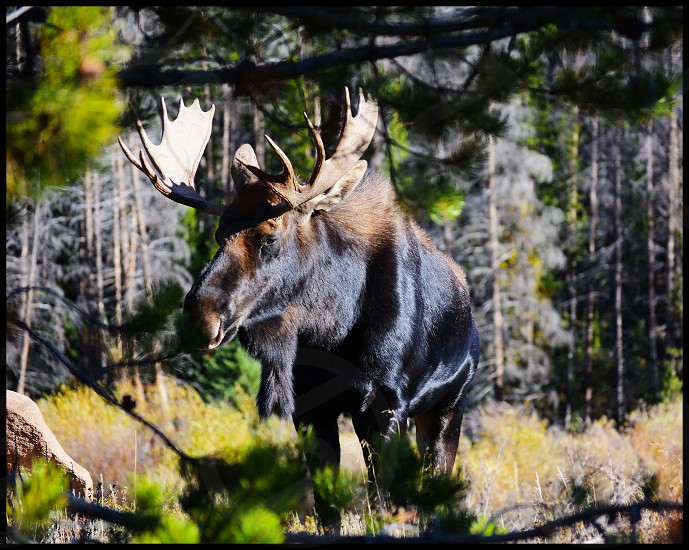 brown and black moose photo