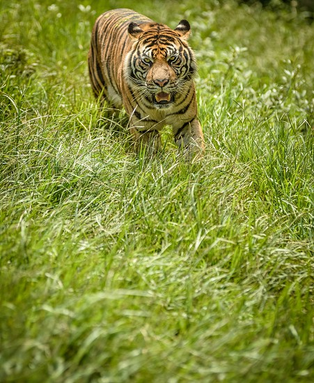 africa aggression anger angry animal asia asian background beautiful beauty bengal carnivore cat close closeup cloud color danger expression eyes face feline fur gaze head hunter isolated on white jungle mammal orange panther predator rain rain drops reflections roar roaring tiger royal safari siberian sky striped texture tiger tigress tigris wild wildcat wildlife   photo