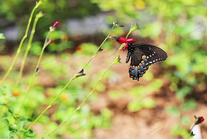 spicebush swallowtail butterfly photo