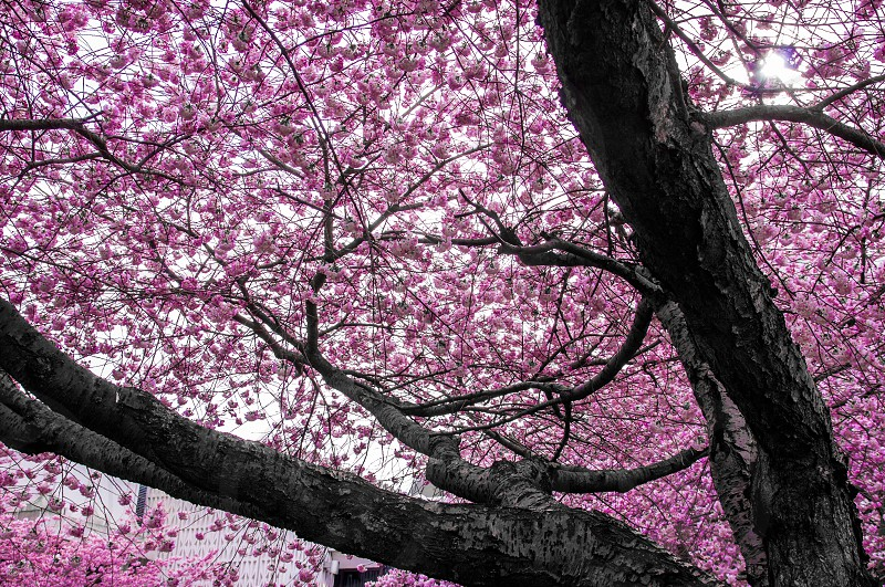 Pink cherry trees in bloom photo