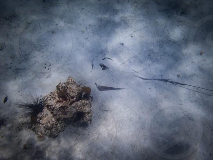 Stingray Hide n seek  photo