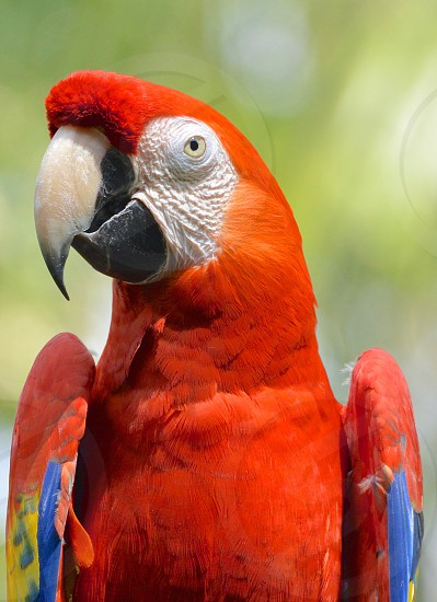Parrot Birds Animals Nature vibrant red colors  photo