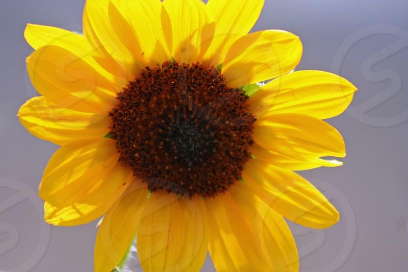 Roadside sunflower photo