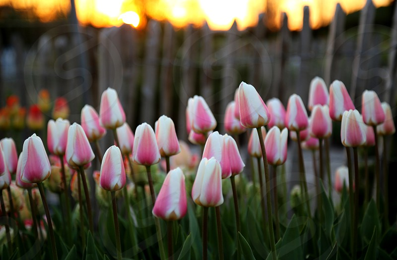Tulips in botanic garden at dawn photo