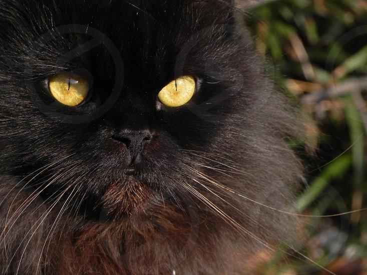Fluffy black Persian cat outside. photo