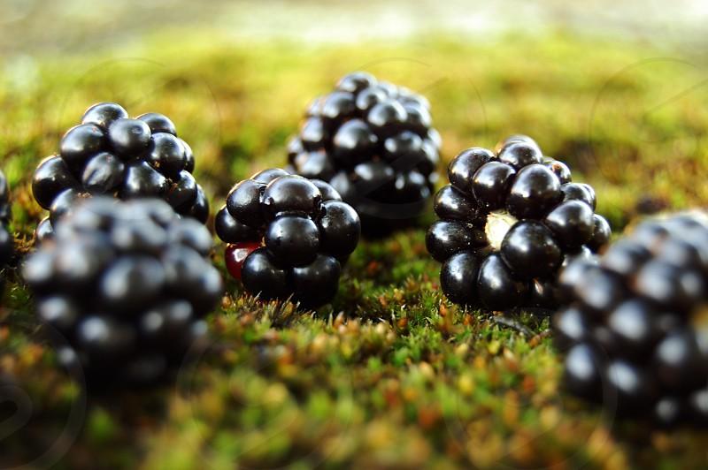 blackberries on the moss photo