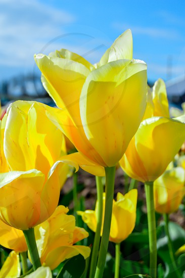 yellow tulips in macro lens photography photo