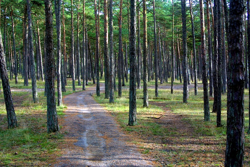 Sand-based pine tree forest - Höllviken all the way south of Sweden photo