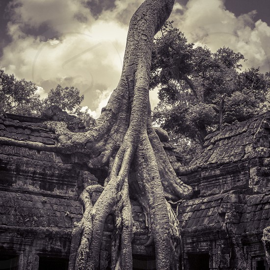 Outdoor day black and white monochrome square filter Ta Prohm Temple Angkor Cambodia Asia Asian East Eastern Holy religious spiritual Tree nature takeover Tombraider Lara Croft movie set Hollywood travel travelling traveller wanderlust tourism tourist stone carved ornate ruin ancient photo