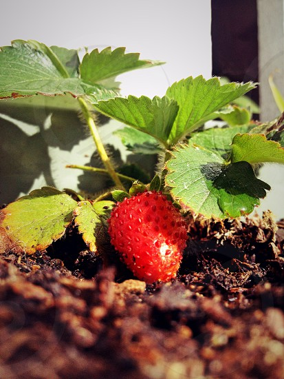 Strawberry fruit plant plants green red vibrant water drop garden gardening berry berries photo