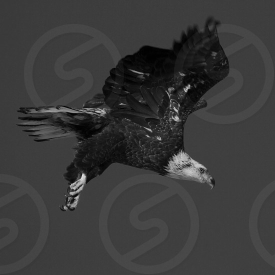 Bald Eagle Black and White nature flight America photo