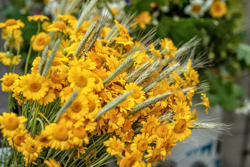 Yellow flower and wheat crop bouquet. Close-up photograph. photo