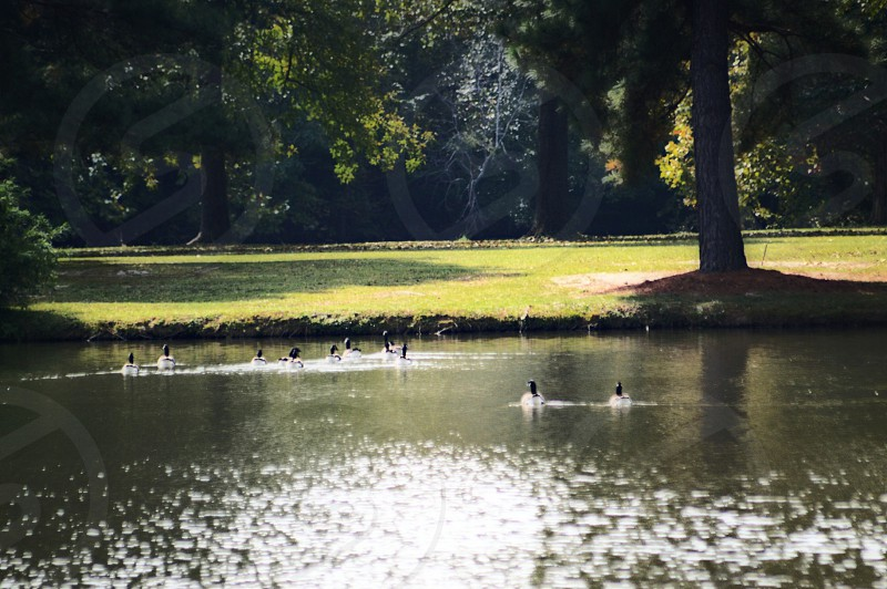 group of mallard ducks swimming on the pond during daytime in the middle of the forest photo