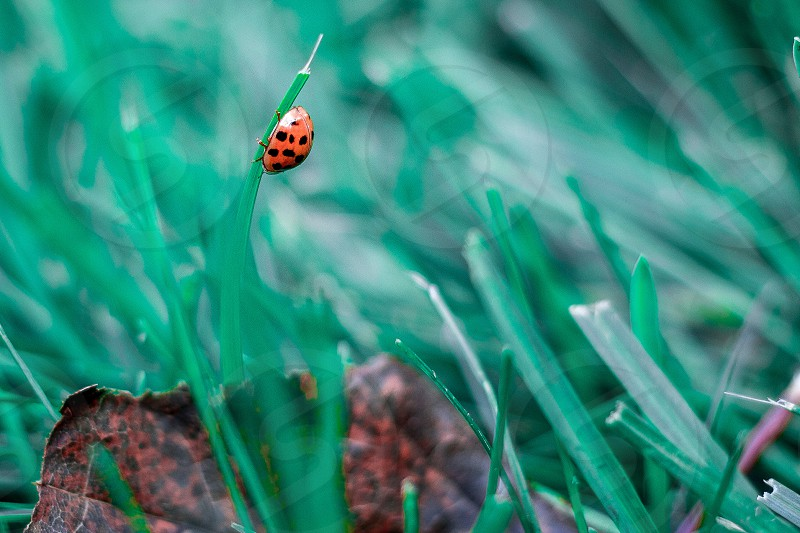 Ladybug in the grass photo