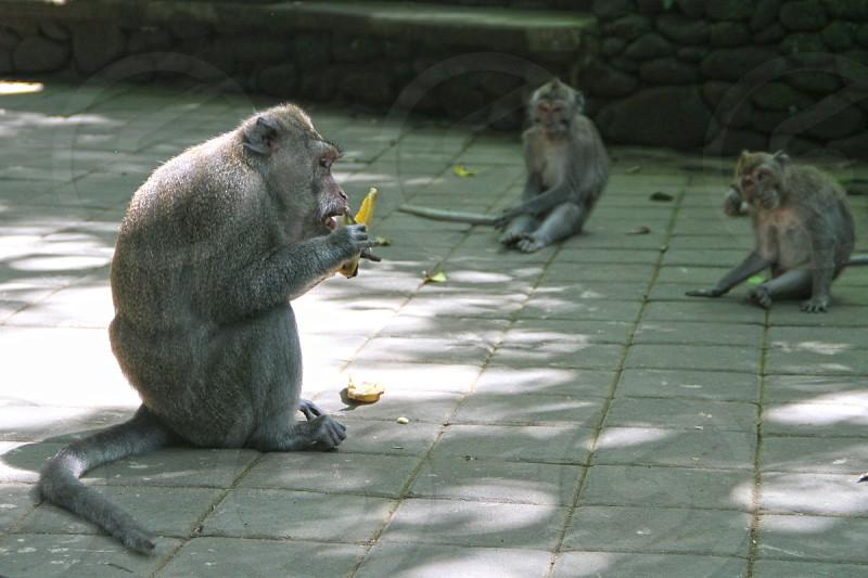 Group of monkeys eating Monkey Forest Ubud (Bali Indonesia) photo