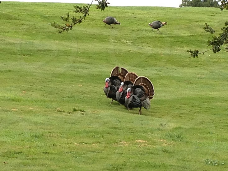 Turkey Squad - nature birds trio feathers grass plumage  photo