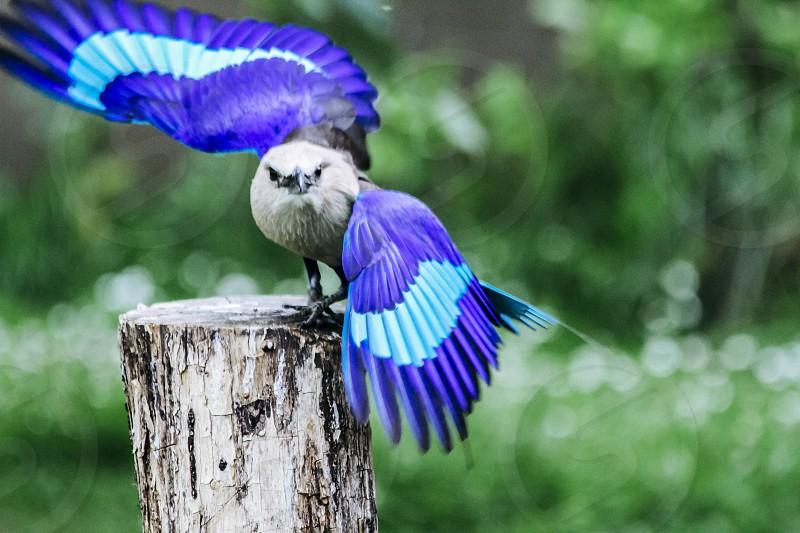 Blue-Bellied Roller Caracas cyanogaster bird blue wings photo