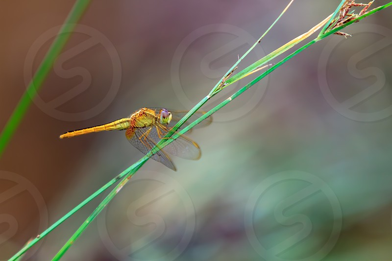 Beautiful orange dragonfly on a green grass closes up. photo