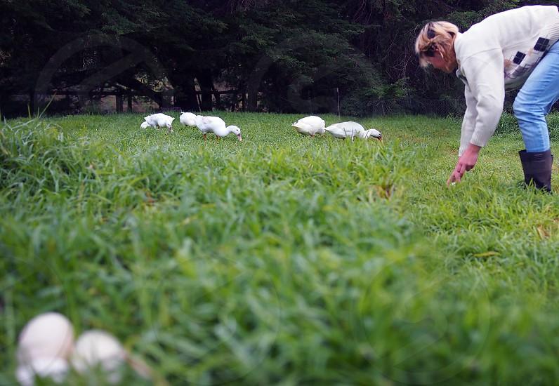 eggs ducks collecting organic eggs photo