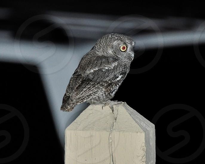 Hunting Owl photo