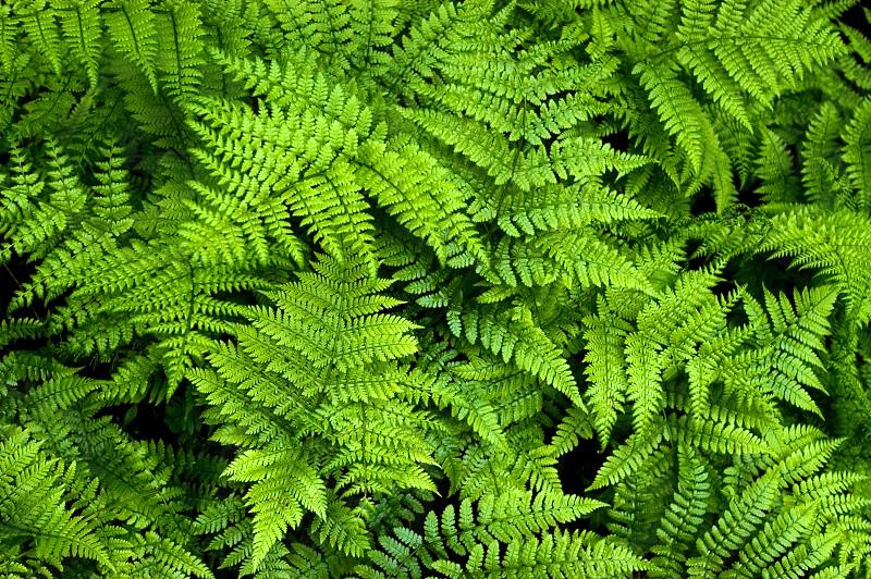The Green Ferns of Coastal Maine photo