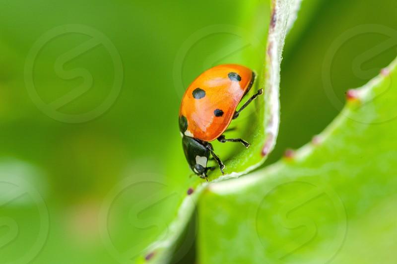 Ladybug on a leaf photo