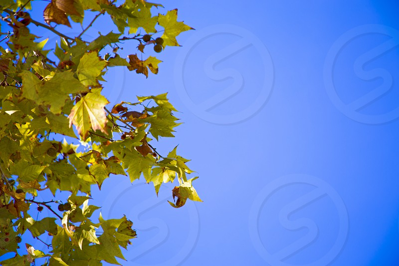Sycamore´s leaves against a clear blue sky photo