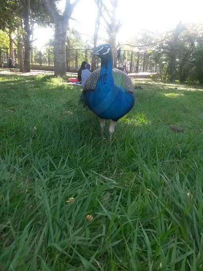 pavo en el parque photo