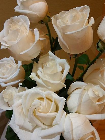 white roses close-up purity innocence romantic beautiful photo