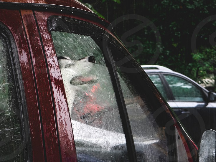 a Husky breed dog sits in a red car and looks out the window at the rain photo